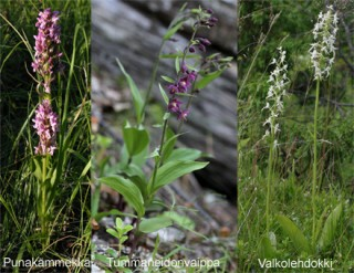 Orchids from Kuusamo and Kainuu