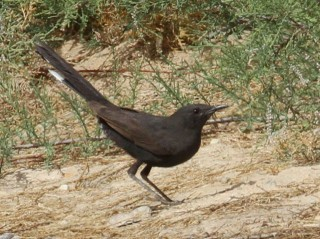 Black Bush Robin