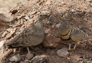 Lichtenstein's Sandgrouse