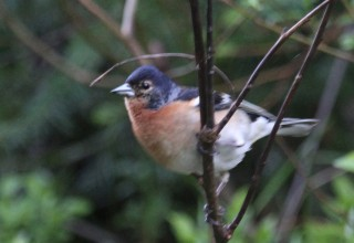 Chaffinch x Brambling