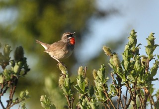 Siberian Rubythroat singing
