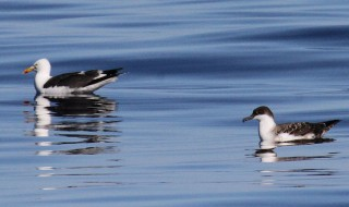 Lesser Black-backed Gull and Great Shearwater