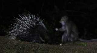 Porcupine and Rhesus Macaque