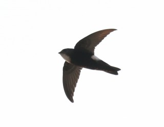 House Swift