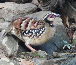 Bar-backed Partridges