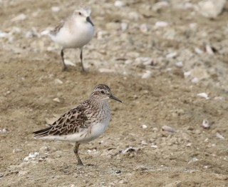 Long-toed and Red-necked Sandpiper