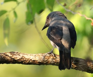 Black-winged Cuckoo-shrike