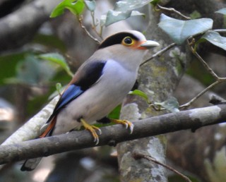 Silver-breasted Broadbill