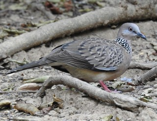 Asian Spotted Dove