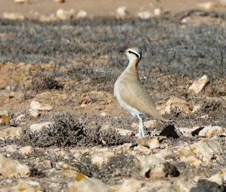 Cream-colored Courser