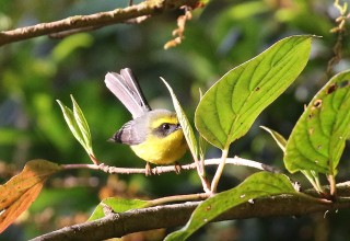 Yellow-bellied Fantail