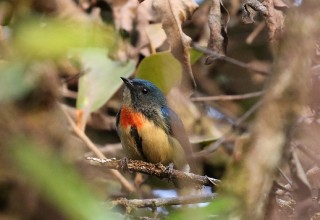 Fire-breasted Flowerpecker