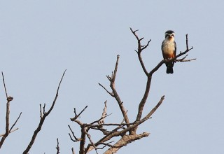 Collared Falconet