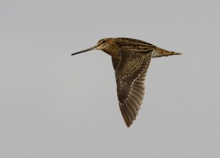 Pintailed Snipe