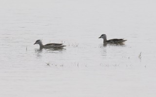 Asian Pygmy Goose