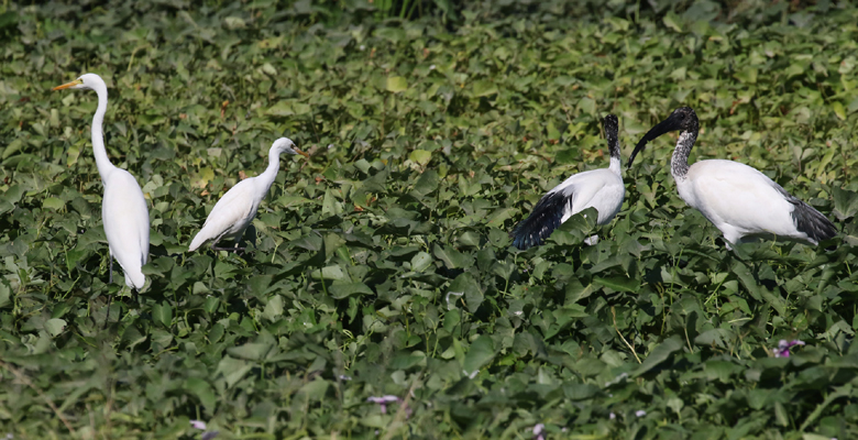 Ibises and egrets