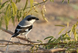 Great Grey Shrike aucheri