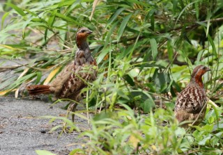 Chinese Bamboo Partridges