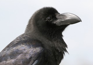Thick-billed Crow